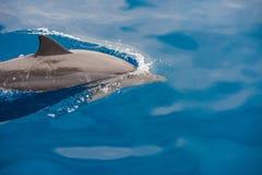 宽吻海豚小组 库存图片