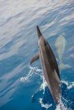 宽吻海豚小组 图库摄影