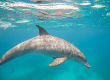 宽吻海豚游泳在盐水湖 免版税库存图片