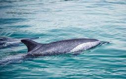 宽吻海豚 免版税库存图片