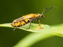 宾夕法尼亚Leatherwing甲虫 免版税图库摄影