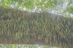 寄生在树印度榕树美好的秀丽 图库摄影
