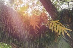 寄生在树印度榕树美好的秀丽 库存图片