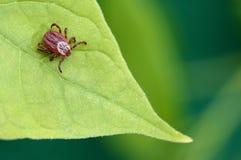 寄生生物小蜘蛛坐一片绿色叶子 壁虱叮咬的危险 免版税库存图片