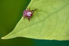 寄生生物小蜘蛛坐一片绿色叶子 壁虱叮咬的危险 图库摄影