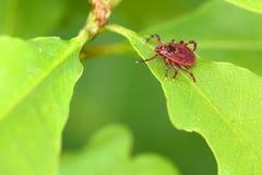寄生生物小蜘蛛坐一片绿色叶子 壁虱叮咬的危险 免版税库存照片