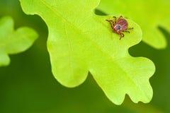 寄生生物小蜘蛛坐一片绿色橡木叶子 壁虱叮咬的危险 免版税图库摄影