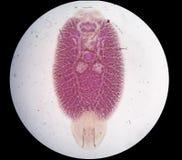寄生生物 图库摄影