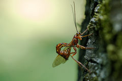 寄生的昆虫 免版税图库摄影