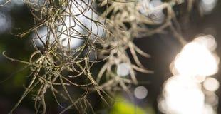 寄生藤,在日落的美好的自然背景 免版税库存图片