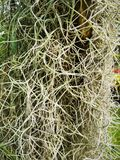 寄生藤,铁兰usneoides plant 库存图片