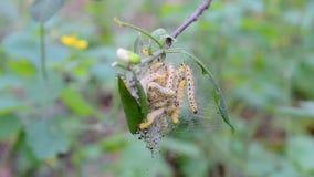 寄生虫植物虫(茧蠕虫)吃在橡树的绿色叶子, 股票录像