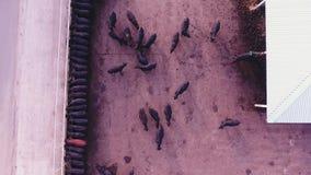 寄生虫照相机在农场的大畜栏捉住黑牛的哺养的过程 股票录像