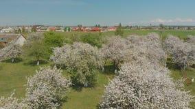 寄生虫的飞行在开花的苹果树的在俄国村庄 股票录像