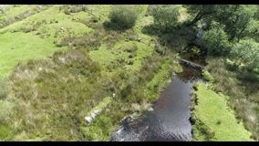 寄生虫英尺长度 吃草由小河的绵羊 影视素材