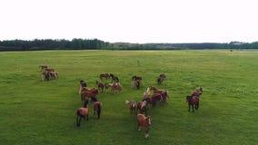 寄生虫英尺长度elipse转动站立在绿色领域的马农场  股票录像