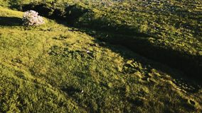 寄生虫跟随跑在大草原领域惊人的牧人草原风景的野生鹿群与花 影视素材