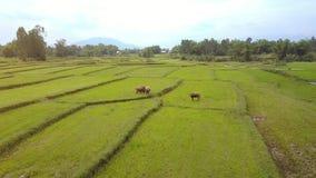 寄生虫飞行在增长的米领域吃草的母牛水牛城 股票视频