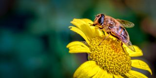 寄生虫飞行,Eristalis tenax雏菊的一个蜂仿造物象清洗它的前面腿的花 库存照片