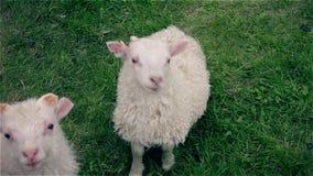 密切注视照相机的一只幼小好奇羊羔注意  影视素材