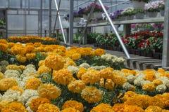密执安季节性夏天种植的温室万寿菊 新春天舱内甲板和机架开花与copyspace 库存图片
