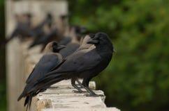 密林乌鸦 免版税库存图片