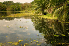 密林叶子和水,巴拿马 免版税库存图片