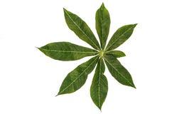 密林叶子白色背景 免版税库存图片