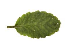 密林叶子白色背景 库存图片
