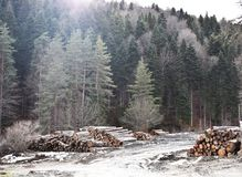 密林和裁减树 库存照片