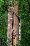密林在热带雨林的藤本植物盖的林木 库存照片