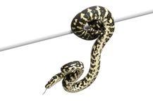 密林地毯Python,墨瑞利亚spilota cheynei 库存图片