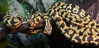 密林地毯Python 图库摄影