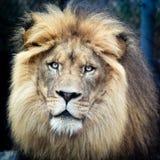 密林的国王 免版税库存图片