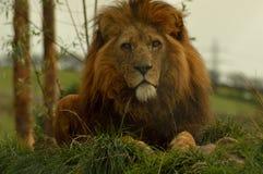 密林的国王 库存照片