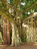 密林结构树 库存图片