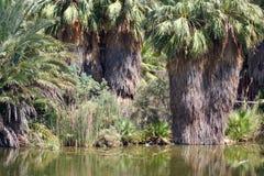 密林绿洲棕榈树 库存照片
