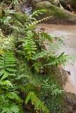 密林蕨 库存图片