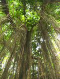 密林藤本植物 库存图片