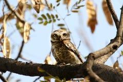 密林被察觉的猫头鹰 免版税库存照片