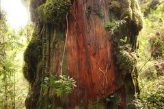 密林雨林,有硕大树的热带森林在Pumalin国立公园 免版税图库摄影