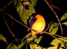 密林dwergijsvogel,支持黑的翠鸟, Ceyx erithaca 免版税库存照片