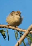 密林Prinia鸟 免版税库存照片