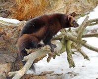 密歇根本地人在日志的狼獾属狼獾属 图库摄影