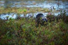 密歇根本地人在芬兰tajga的狼獾属狼獾属 免版税库存图片