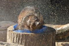 密歇根本地人狼獾属狼獾属在沐浴以后摆脱 库存图片