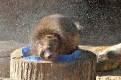 密歇根本地人狼獾属狼獾属在沐浴以后摆脱 免版税库存图片