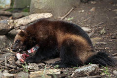 密歇根本地人(狼獾属狼獾属),亦称暴食者 库存图片