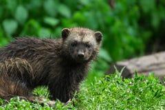 密歇根本地人暴食者, carcajou,臭鼬熊, Gula gula 免版税库存照片