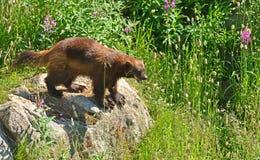 密歇根本地人wolverene,狼獾属狼獾属,在高草中 免版税库存照片